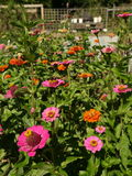 Organic garden: pink orange zinnia flowers Royalty Free Stock Image