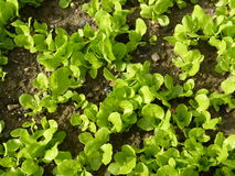 Organic garden salad plants Stock Images