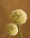 Organic Garden Shallot Onion Flower Heads Stock Images