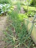 Organic garden shallots Stock Photography