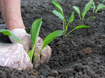 Organic gardening-farmer planting cabbage seedling Royalty Free Stock Images