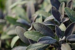 Organic gardening, growing sage in outdoor herb garden Royalty Free Stock Image