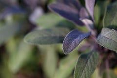 Organic gardening, growing sage in outdoor herb garden Stock Images