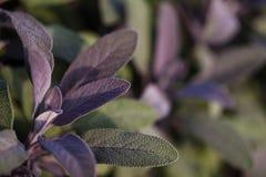 Organic gardening, growing sage in outdoor herb garden Stock Image