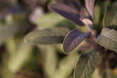 Organic gardening, growing sage in outdoor herb garden Stock Photos