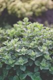 Organic gardening, mint herb plants Royalty Free Stock Photo