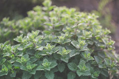 Organic gardening, mint herb plants Royalty Free Stock Images