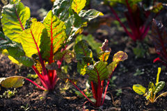 Organic gardening,  Swiss chard  in a vegetable garden Royalty Free Stock Photography