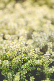 Organic gardening, thyme herb plants Stock Photography