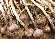 Organic Garlic Royalty Free Stock Photography