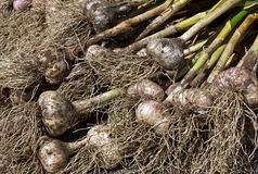 Organic garlic (Allium sativum) bulbs Stock Image