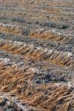 Organic garlic drying at the sun Stock Images