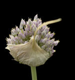 Organic garlic flower head herb isolated on black Royalty Free Stock Images