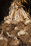 Organic garlic gathered at ecological farm on rustic wood Royalty Free Stock Photography