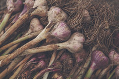 Organic garlic gathered at ecological farm on rustic wood Royalty Free Stock Photo