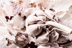 Organic garlic. Natural antibiotic. Healthy food. Natural backgr Stock Images