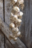 Organic garlics hanging on a rustic wooden wall. Royalty Free Stock Image