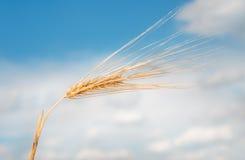 Organic golden ripe ears of wheat Stock Photo