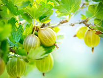 Organic Gooseberry Growing. Gooseberry. Fresh and Ripe Organic Gooseberries Growing Stock Image