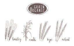 Organic grain sketch illustration. Hand drawing Royalty Free Stock Photos