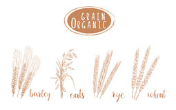Organic grain sketch illustration. Hand drawing Stock Images