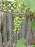 Organic grape Stock Image