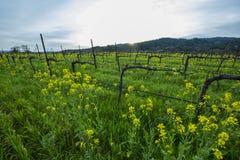 Organic grape vineyard in spring Royalty Free Stock Images