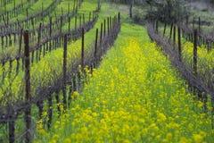 Organic grape vineyard in spring Royalty Free Stock Image