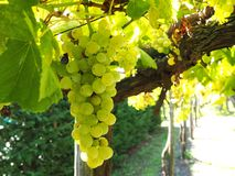 Organic Grapes Royalty Free Stock Images
