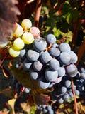 Organic Grapes Royalty Free Stock Photo