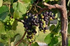 Organic grapes cluster Stock Photos