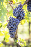 Organic grapes fot wine production in Tuscany Royalty Free Stock Photography