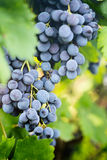 Organic Grapes Royalty Free Stock Photography