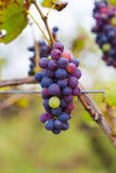 Organic Grapes at a Winery Stock Images