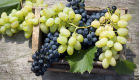 Organic grapes in wooden box royalty free stock image
