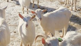 Organic Grassfed Goats - a herd of young kids on eco-friendly meat farm stock video footage