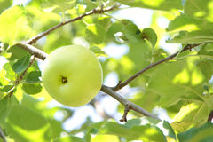 Organic green apple on branch Royalty Free Stock Images