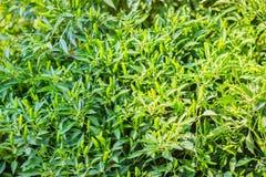 Organic green bird's eye chili, bird eye chili, bird's chili, ch. Ile de arbol, or Thai chili fruits on tree bush with green leaves background Stock Photo
