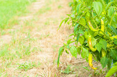 Organic green chilies growing outside as eco farming concept Stock Images