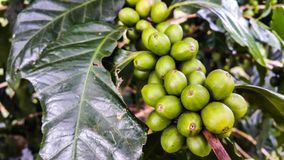 Beautiful fresh green coffee beans on tree branch. Organic green coffee cherries on tree branch in the garden,Thailand Royalty Free Stock Photography