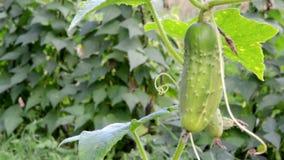 Organic green cucumber beans grow agricultural rural garden stock footage