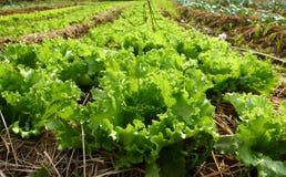 Organic green fresh vegetable Stock Photography