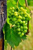 Organic green grapes Royalty Free Stock Photos