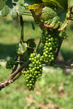 Organic Green Grapes on Vine Stock Image
