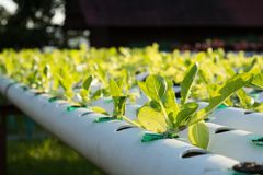 The hydroponics Organic hydroponic vegetable in cultivation farm Stock Photo