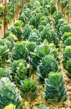 Organic Green  ornamental cabbage. Stock Photo