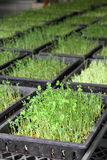 Organic green pea sprout Stock Image