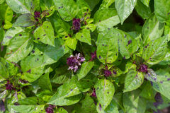 Organic green and purple basil growing in garden. close up. Royalty Free Stock Photography