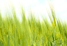 Organic Green spring grains Royalty Free Stock Photography
