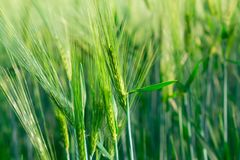 Organic green spring grains Stock Image